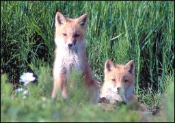 Red foxes peek out from a field of grasses and flowers
